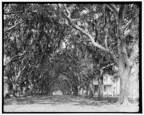 Photo: Benachi Avenue oaks,Spanish - Biloxi Mississippi Shopping