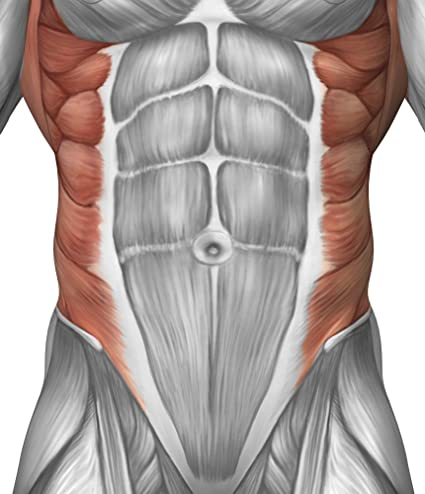 Amazon Male Muscle Anatomy Of The Abdominal Wall Poster Print