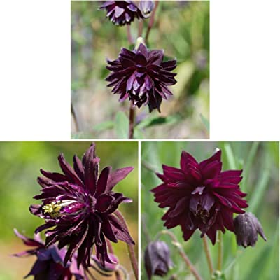 Columbine Seeds for Yard Gardening Plant, 50Pcs Black Barlow Columbine Seeds Aquilegia Vulgaris Home Garden Flower Plant by Mosichi : Garden & Outdoor