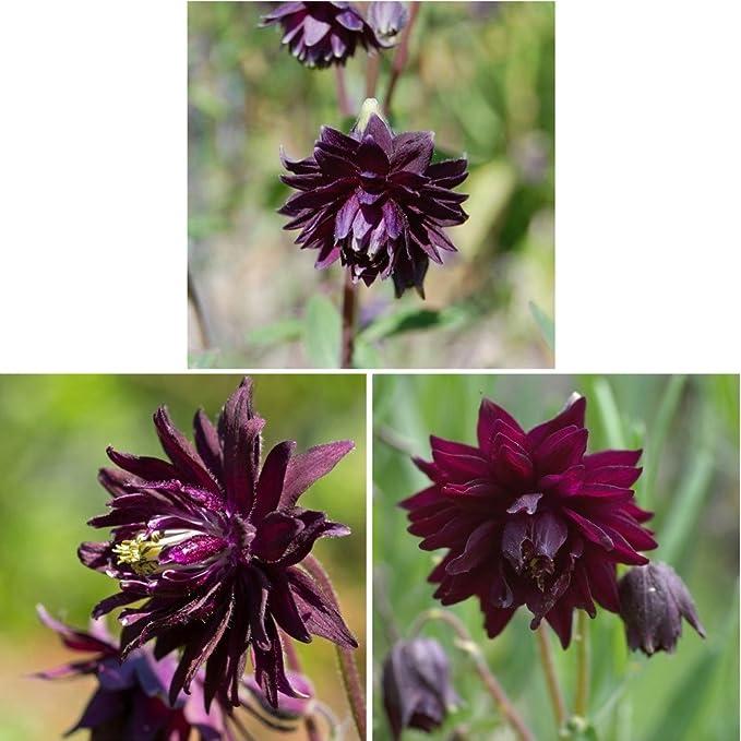 AQUILEGIA Columbine -Black Barlow  50 Seeds
