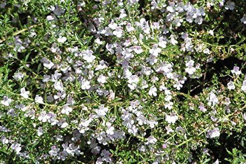 Satureja montana Winter-Bohnenkraut Bergbohnenkraut 200 Samen