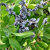 "Northern Bayberry 2 Plants - Male & Female - Myrica pensylvanica - 4"" Pots"