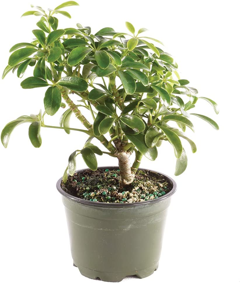 "Brussel's Bonsai Live Hawaiian Umbrella Indoor Bonsai Tree - 3 Years Old 4"" to 6"" Tall with Plastic Grower Pot, Small,"