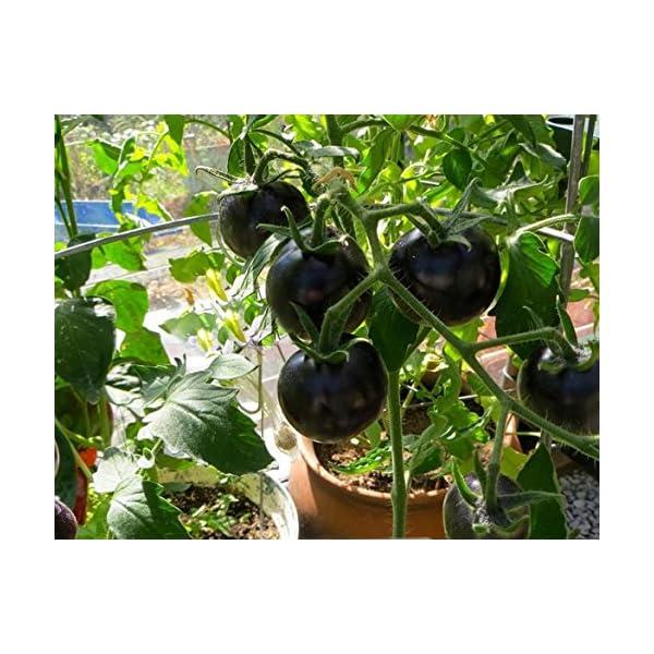 Ncient 20 Semi Sementi di Cherry Pomodori Neri per Orto Semi Vegetali Frutta Profumati Fiori Rari Piante Giardino… 1 spesavip