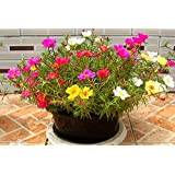 Creative Farmer Rose Moss Flower Seeds For All Season India