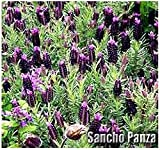 10 x Sancho Panza Lavender Flower/Herb SEEDS - Spanish Lavender that blooms all summer long - Lavandula Stoechas Seeds - By MySeeds.Co