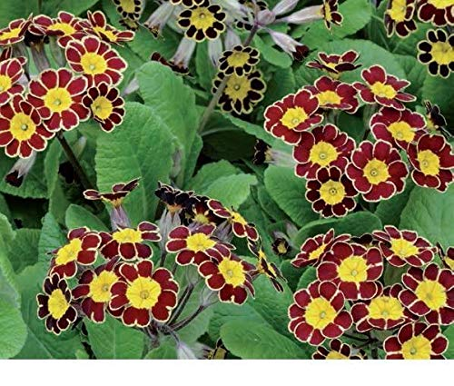 Flower  Polyanthus primul Victoriana Gold lace  20 Seeds