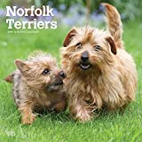 Norfolk Terriers 2019 12 x 12 Inch Monthly Square Wall Calendar, Animals Dog Breeds Terriers