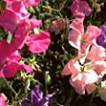 Everwilde Farms - Bijou Mix Sweet Pea Wildflower Seeds - Gold Vault