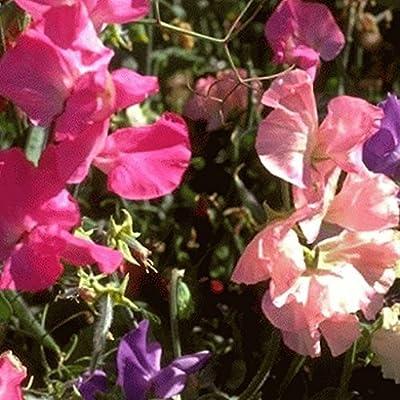 Everwilde Farms - Bijou Mix Sweet Pea Wildflower Seeds - Gold Vault