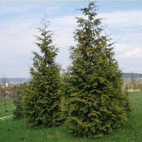 Red Cedar Trunk Tree - 25 Seeds Western Red Cedar Seeds (Thuja plicata) Tree