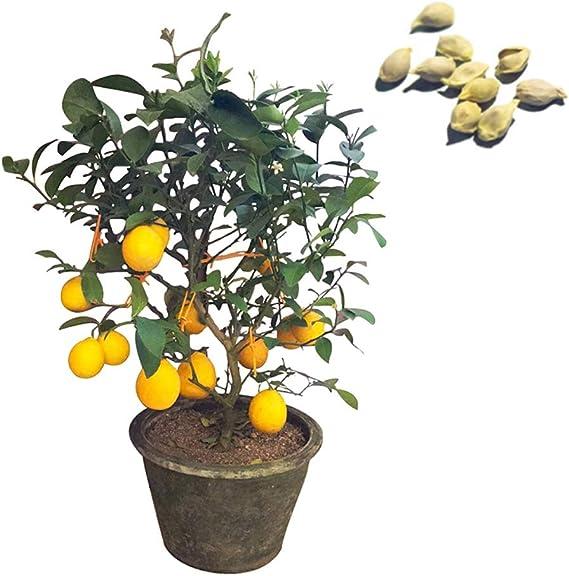 MOCRIS 20 unids/Set Kit de Semillas de Limón Árbol de Hoja Perenne ...