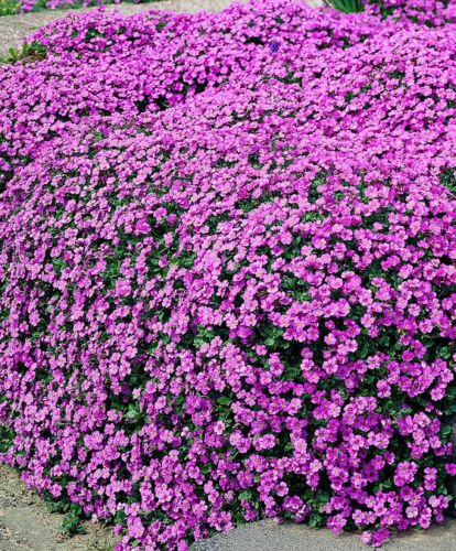 Pink ROCK SOAPWORT Saponaria Ocymoides Flower Seeds, Great Groundcover 1000 seed
