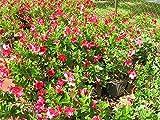 Mandevilla - Red, Dipladenia - 1 Gallon Live Plant - 4 pack