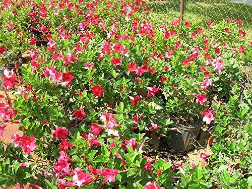 Mandevilla - Red, Dipladenia - 1 Gallon Live Plant - 4 pack by PlantVine