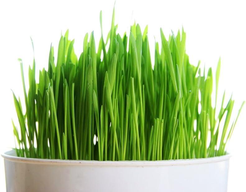 ADB Inc 220 Seeds / Pack, Cat Grass Seed, Animal Green Food