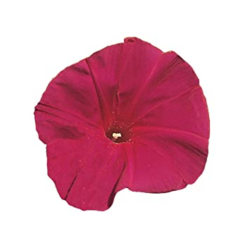 Amazon com : Burpee Scarlett O' Hara Morning Glory Seeds 150
