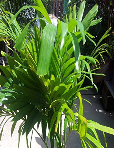 3-live-2-3-ft-tall-indoor-outdoor-adonidia-christmas-palm-trees-2-gal-pot