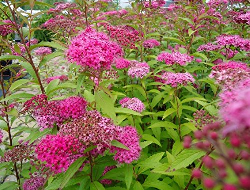 Anthony Waterer Spirea (Anthony Waterer Spirea Japanese Heavy Established Roots 2.5