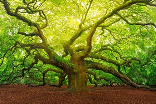 Angel Oak Tree Canopy Charleston South Carolina Photo Art Print Mural Giant Poster 54x36 inch