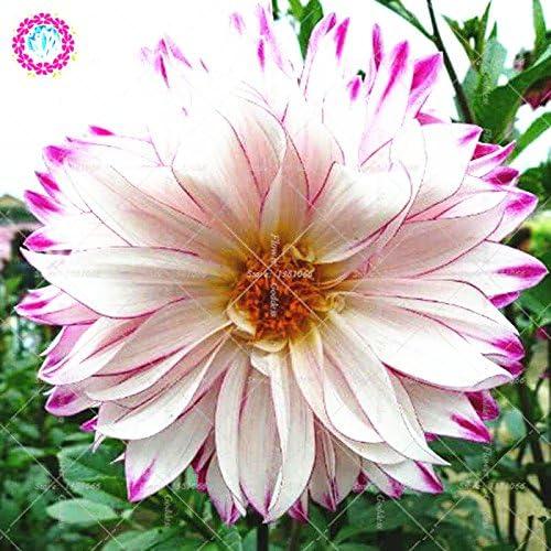 25pcs Dahlia pinnata flor Bonsai Semillas Fácil El cultivo perenne florecientes plantas para jardín balcón Patio interior Out 2: Amazon.es: Jardín