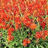 FLOWER SEEDS~WALLFLOWER~ENGLISH-CHEIRI~700 SEEDS