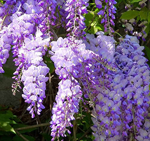 [Chinese Lavender Wisteria Seeds 40 Seeds Upc 648620998484] (Planting Spring Flowers)