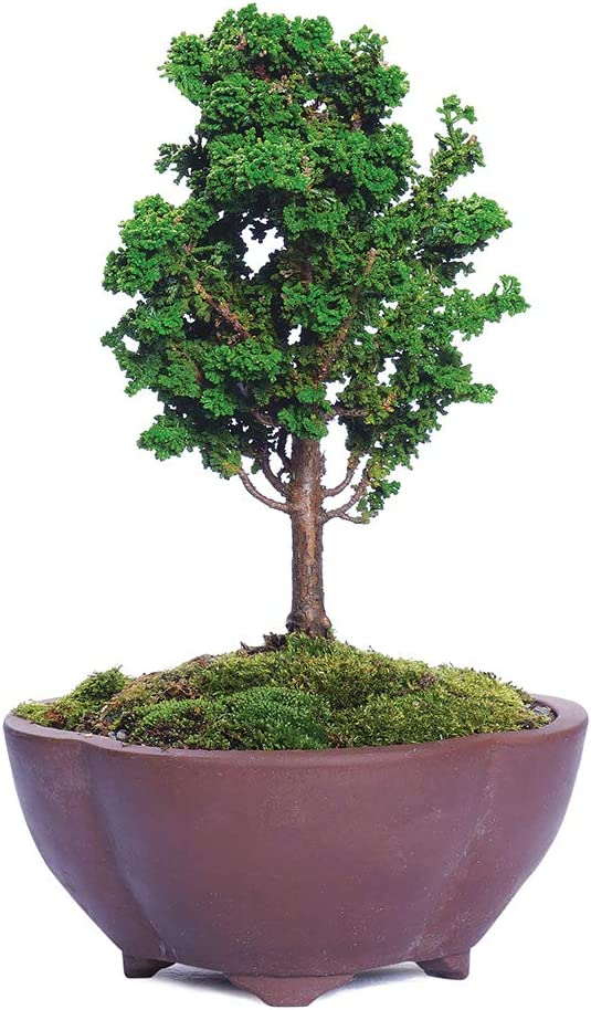 Amazon Com Brussel S Bonsai Live Dwarf Hinoki Cypress Sekka Outdoor Bonsai Tree 4 Years Old 6 To 10 Tall With Decorative Container Small Garden Outdoor