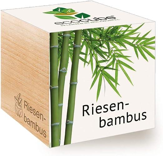Feel Green Ecocube Riesenbambus, Idea de Regalo sostenible (100 ...
