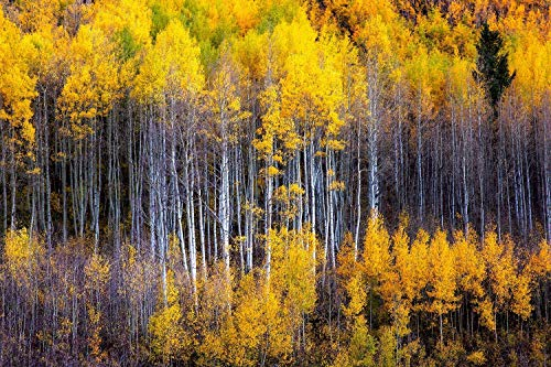 Fall Season Photography Art Print - Picture of Aspen Trees at Maroon Bells Western Colorado Autumn Forest Decor 5x7 to 40x60