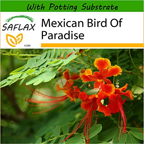 SAFLAX - Mexican Bird of Paradise - 10 Seeds - with Soil - Caesalpinia pulcherrima (Care Of Mexican Bird Of Paradise Plant)