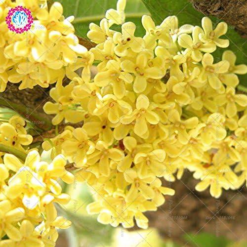 10PCS flor del Osmanthus Bonsai Semillas Gardenia Fácil El cultivo perenne florecientes plantas para jardín balcón Patio 1: Amazon.es: Jardín