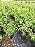 Yesterday Today and Tomorrow Live Plant Brunsfesia Pauciflora