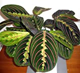 "Red Prayer Plant - Maranta - Easy to Grow House Plant - 4"" Hanging pot -/from jmbamboo"