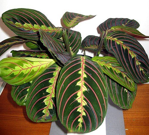 Red Prayer Plant - Maranta - Easy to Grow House Plant - 4'' Hanging pot -/from jmbamboo by JM BAMBOO
