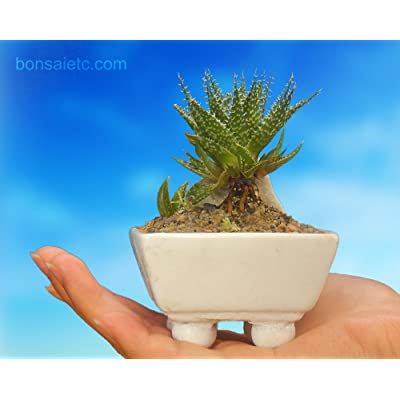 Miniature Baby Aloe Bonsai Flowering Plant : Everything Else
