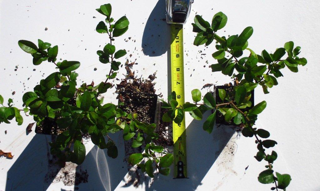 Chaenomeles Spitfire, Flowering Quince, (3 Plants)