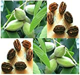 10 x Butternut aka White Walnut, Juglans cinerea Tree Seeds - Excellent Shade Tree with Sweet Tasting Nuts - by MySeeds.Co