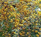 Acacia Farnesiana 10 seeds Mimosa Sweet Acacia Bright Yellow flower clusters Drought Tolerant aromatic dense foliage Perfect Bonsia Plant