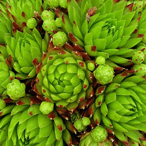 Outsidepride Sempervivum Hybridum Hens & Chicks Plant Seed - 1000 Seeds