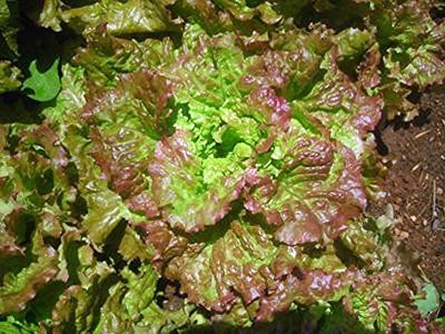 (Lettuce, Prizehead leaf Lettuce Seeds, Organic, NON-GMO, 50+ seeds per package, Healthy Hearty , A great addtion to any salad.)
