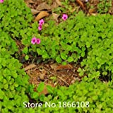 home & garden Pack 200 Seed Red Wood Sorrel Seeds Oxalis Corymbosa Four Leaf Clover Flower Seeds