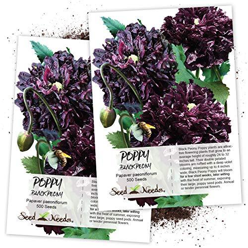 (Seed Needs, Black Peony Poppy (Papaver paeoniflorum) Twin Pack of 500 Seeds Each)