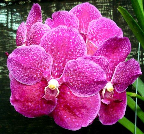 2 Plants  2 1 2 Inch Pots Vanda Pat Delight Pink Tango
