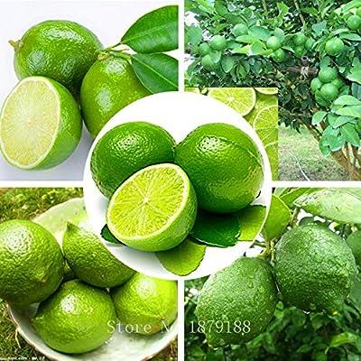 Cheap! Thai Organic Key Lime Seeds Citrus Aurantifolia Lemon Seeds Fruit Seeds 20PCS : Garden & Outdoor