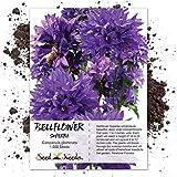 Seed Needs, Bellflower Superba (Campanula Glomerata) 1,000 Seeds
