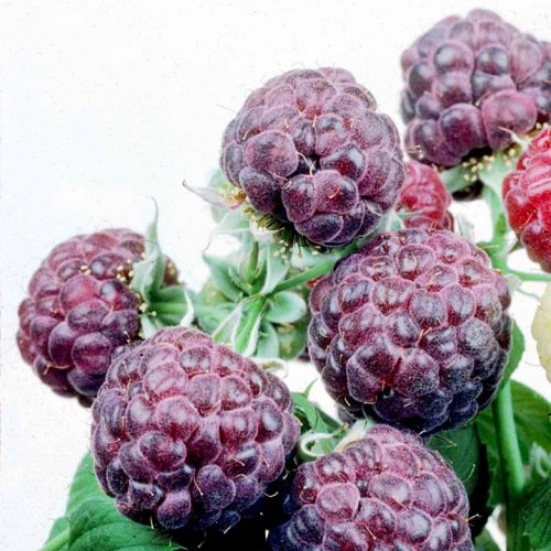 "Raspberry Plants ""Glencoe"" (Purple) Includes Four (4) Plants"