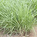 Lemongrass Seeds (Cymbopogon citratus) - 30 Rare Medicinal Lemongrass Seed in a Glass Vial 'SEED CAPSULE' with Silica Beads and Organic Cotton for Moisture Control and Excellent Long Term Storage