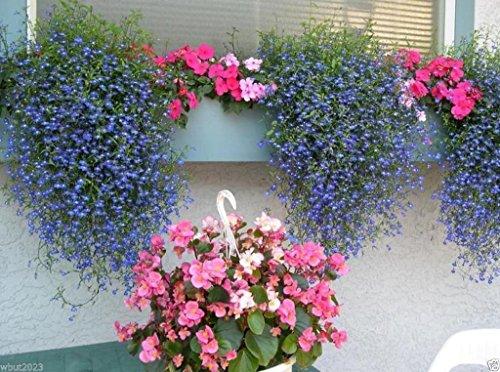 Lobelia Seeds ,Trailing Sapphire, Hanging Baskets, Trailing Over Window or Wall