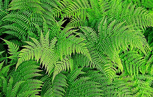 Lady Fern 1000 Spores (Seeds) FILIX FEMINA Hardy Large 3